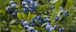 Blueberry Whole Wild FREEZE DRIED BULK